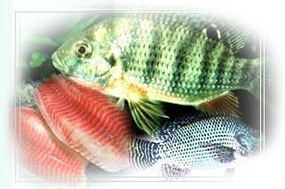 Aquaculture, Frozen Fish, Tilapia, Grouper,Cobia, Mariculture, Sea Cage (Аквакультура, замороженная рыба, тиляпии, Grouper, Cobia, марикультуры, Море Кейдж)