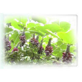 Herbal Remedies - Kudzu Puerarin Lobata (Травяные Remedies - Кудзу Puerarin Lobata)