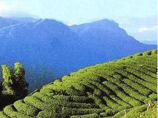 1-A Organic Tea Garden