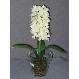 11``H POTTED HYACINTH (11``H EMPOTE JACINTHE)