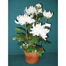 17``H CHRYSANTHEMUM IN POT (17``H chrysanthèmes à POT)
