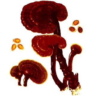 Caucams Shell-broken Lingzhi Spore Capsule (Caucams Шелл-Broken Lingzhi Spore Capsule)