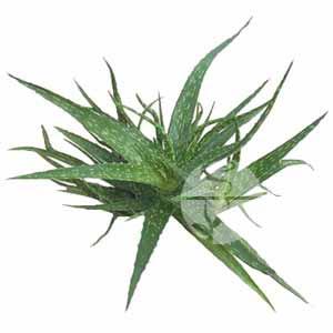 Unique Sweet Aloe Vera Leaves (Unique Sweet Aloe Vera Leaves)