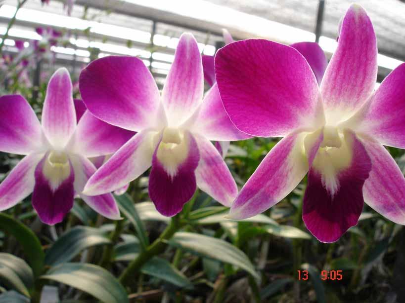 Dendrobium Sonnia (Dendrobium Sonnia)