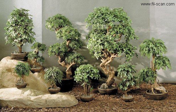 Bonsai Trees (Бонсай деревья)
