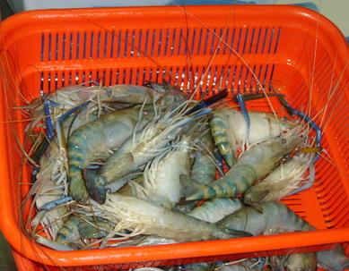 Frozen Fresh Water Shrimp (Пресная вода замороженные креветки)