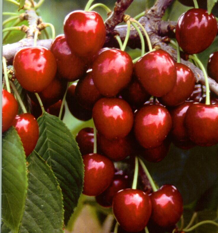 Napoleon Cherry (Наполеон Cherry)