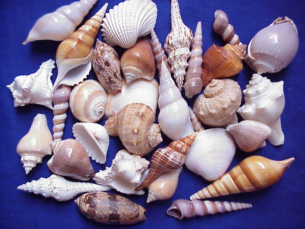 Indian Sea Shell