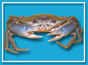 Live Green Mud Crab (Жить зеленый Грязевой краб)