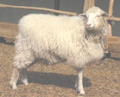 Lamb Of Six Months