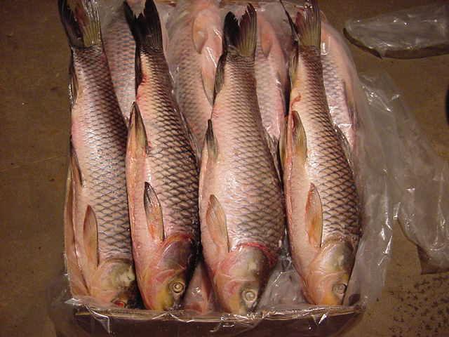 Frozen Rohu Fish (Замороженная рыба Rohu)