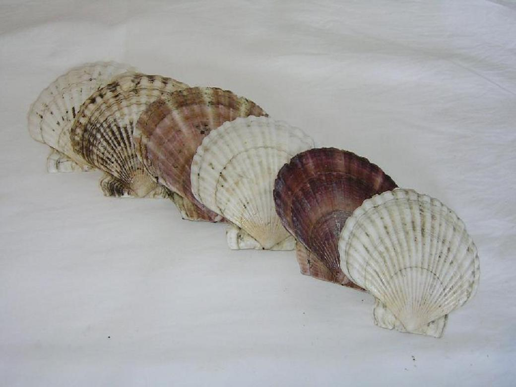 Scallop Shell (Coquille Saint-Jacques)