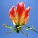 Glriosa Superba Seeds