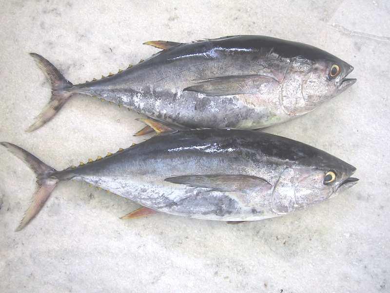 Frozen Yellow Fin Tuna, Tuna Loins, Indian Sardine, Indian Mackerel (Замороженные Желтая тунца, тунец поясницу, индийская Сардина, индийская скумбрия)
