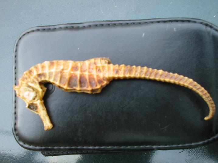 Sea Horse (Sea Horse)