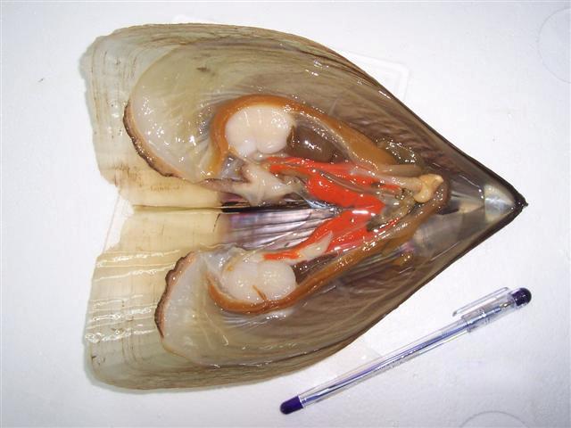 Color Razor Shell (Цвет Razor Shell)