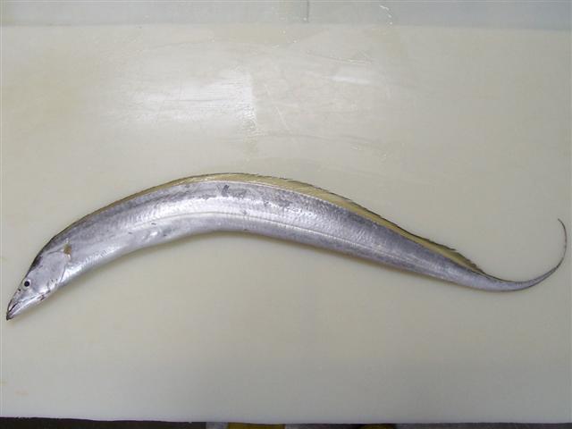 Ribbon Fish (Лента рыбы)