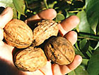 Walnut (Noyer)