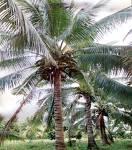 Coconut And Coconut-Related Products (Кокосовых орехов и продуктов, связанных)