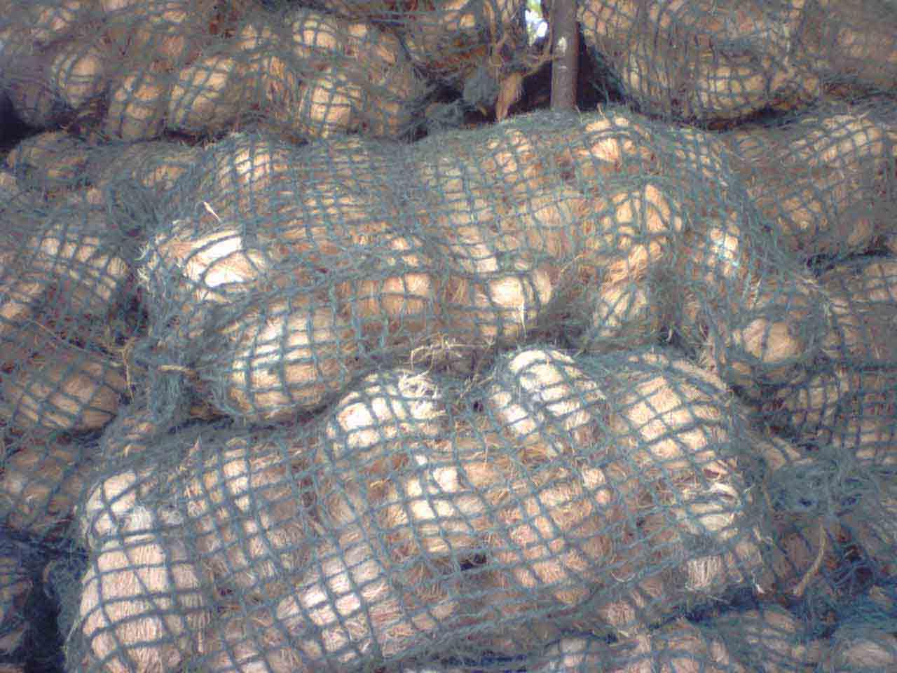 Coconuts (Кокосовые орехи)