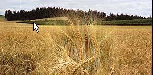 Australia Wheat (Австралия Пшеница)