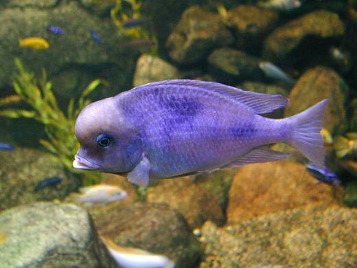 Malawi Ciclid Fish