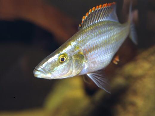 Malawi`s Cichlid Fish