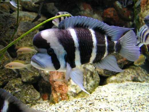 Tanghanyika`s Cichlid Fish (Cichlid Tanghanyika`s Fish)