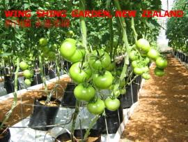 Tomato Fresh (Wing Shing Garden)