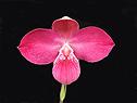 Orchids (Орхидеи)