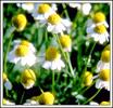 Chamomile Flower (Цветы ромашки)