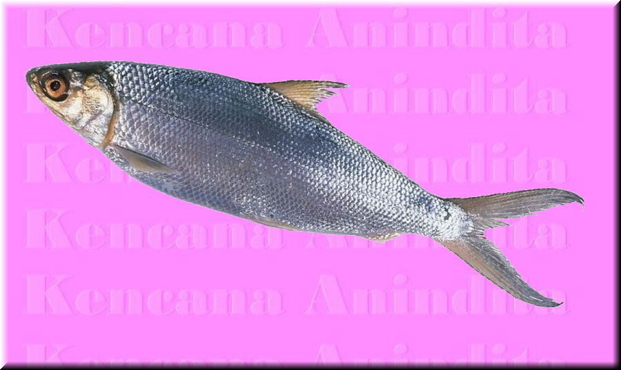 Milkfish (Milkfish)