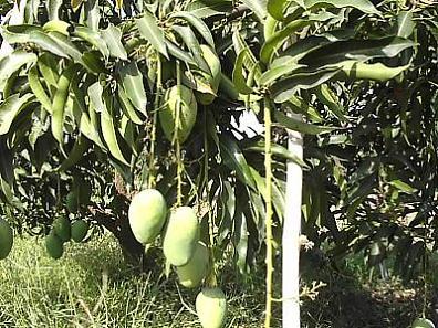 Kesar Mango (Кесар Манго)