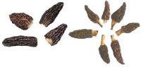 Morchella Conica (Сморчок Альберса)