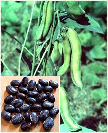 Mucuna Pruriens Seed Powder (Sexual Stimulant)