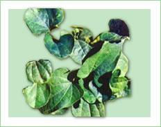Trichopus Zeylanicus Jeevani Plant / Dried / Capsules (Trichopus zeylanicus Jeevani Plant / Séché / Gélules)