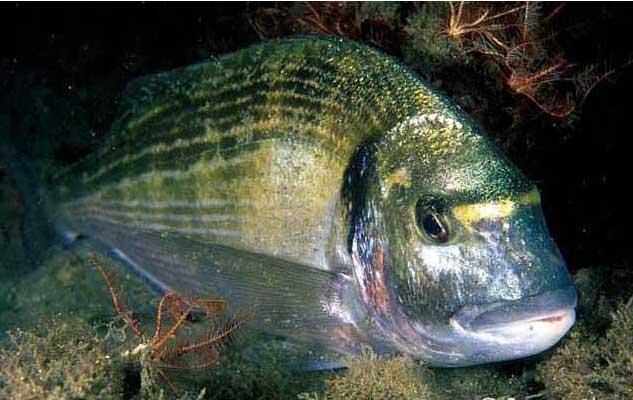 Grilthhead Seabream (Grilthhead лещ)