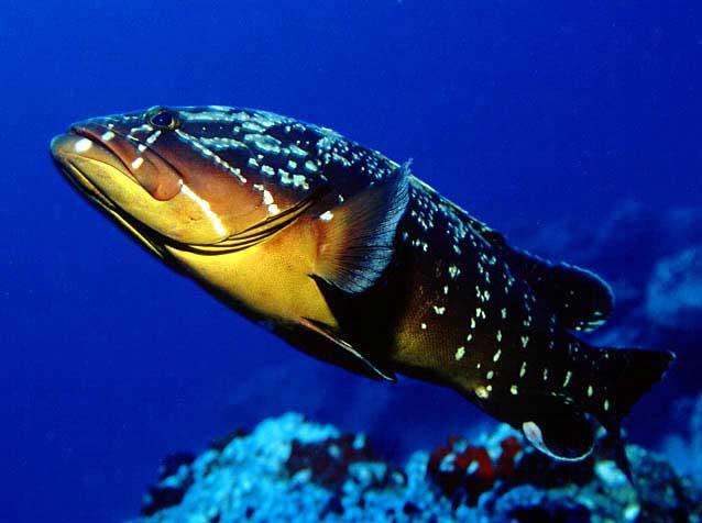 Dusky Grouper (Темный Grouper)