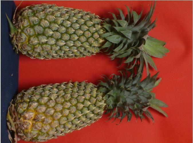 Pineapple (Ananas)