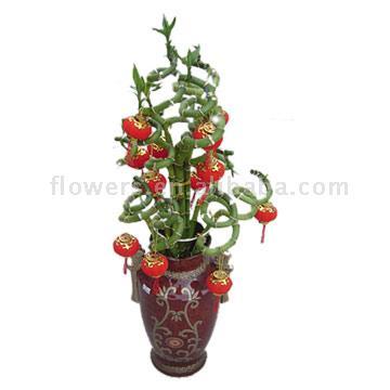 Twisted Lucky Bamboo (Cracaena Sarderiansa Var. Virescens) (Twisted Lucky Bamboo (Cr aena Sarderiansa Var. Virescens))