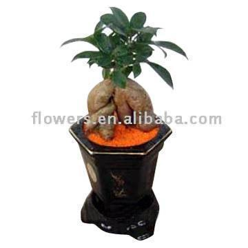 Ginseng Ficus (Ficus Microcarpa) (Женьшень Фикус (Ficus Microcarpa))