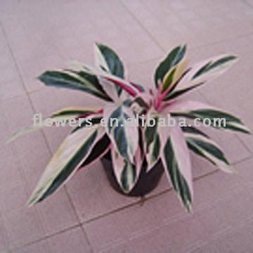 Stromanthe Triostar (Stromanthe Triostar)