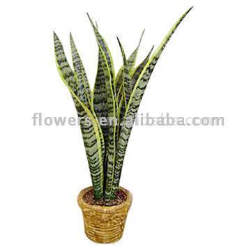 Sansevieria Thifasciata Var. Laurentic (Sansevieria Thifasciata Var. Laurentic)
