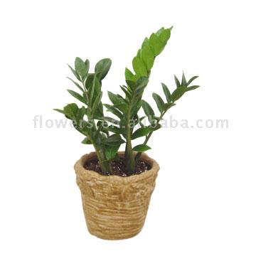 Money Tree (Zamioculcas Zamifolia) (Денежное дерево (Замиокулькас Zamifolia))