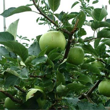 Green Apples (Зеленые яблоки)