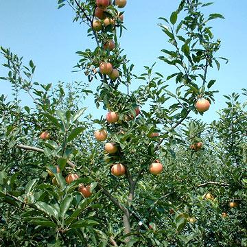 Royal Gala Apples (Royal Gala яблоки)