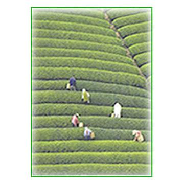 Green Tea Extract (Extrait de Thé Vert)