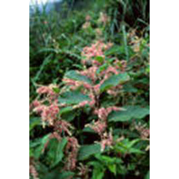 Giant Knotweed Extract