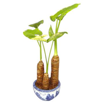 Alocasia Macrorrhiza (Alocasia M rorrhiza)