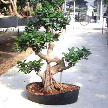 Ficus Microcarpa (Фикус Microcarpa)